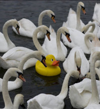 Social_Swans_Ducks
